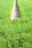 与一个垄沟的麦子绿色领域,积的水,在cen 免版税图库摄影