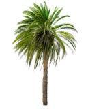 与一个大冠的棕榈树 免版税库存图片