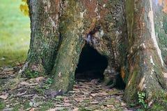 与一个大凹陷的老粗糙的美国梧桐树 库存照片