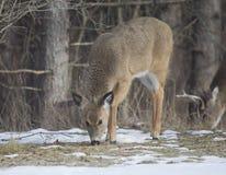 与一个大型装配架的一只小鹿母鹿在她之后。 免版税库存图片