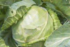 与一个大新鲜的圆白菜圆白菜特写镜头的背景 在床上的圆白菜圆白菜 库存照片