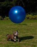 与一个大蓝色球的狗戏剧 库存图片