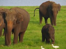 与一个婴孩的亚洲大象在斯里兰卡 库存照片