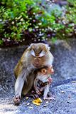 与一个婴孩的猴子猴子小山的 免版税库存照片