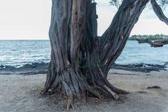 与一个孔的多节树在它在夏威夷的大岛的海滩 库存照片