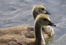与一个对的美好的图片一起游泳加拿大的鹅的小鸡 免版税图库摄影