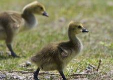 与一个对的美好的图片加拿大鹅的小鸡 图库摄影