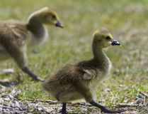 与一个对的美好的图象加拿大鹅的小鸡 免版税库存照片