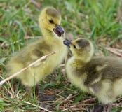 与一个对的滑稽的美好的图象加拿大鹅的逗人喜爱的小鸡 免版税库存照片