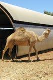 与一个小丘的一头骆驼在沙漠 免版税库存照片