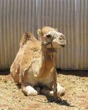 与一个小丘的一头骆驼 库存照片