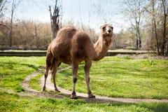 与一个小丘的骆驼在动物园里 库存照片