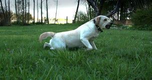 与一个小球的拉布拉多狗在他的嘴4K FS700冒险旅行7Q 股票录像