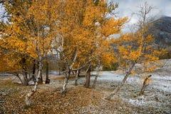 与一个小组的秋天风景与明亮的黄色叶子和新近地下落的雪的桦树 山与第一个S的秋天风景 免版税库存图片