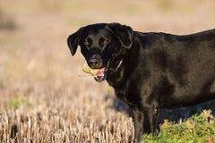 与一个岩石的黑拉布拉多猎犬在它` s嘴 免版税库存照片