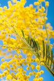 与一个开花的含羞草的春天花束 免版税图库摄影