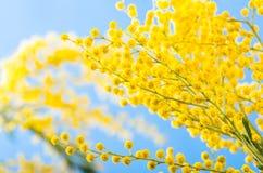 一个开花的金合欢结构树的分行 库存图片