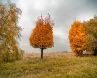 与一个异常的冠的一棵分开的树 免版税库存图片