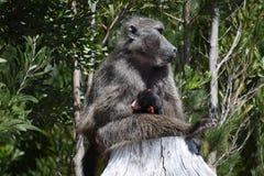 与一个微小的婴孩的母亲狒狒 图库摄影