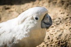 与一个快乐的心情特写镜头的白色鹦鹉美冠鹦鹉 硫磺有顶饰美冠鹦鹉本质上 免版税库存图片
