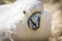 与一个快乐的心情特写镜头的白色鹦鹉美冠鹦鹉 硫磺有顶饰美冠鹦鹉本质上 库存照片