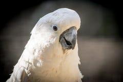 与一个快乐的心情特写镜头的白色鹦鹉美冠鹦鹉 硫磺有顶饰美冠鹦鹉本质上 免版税库存照片