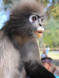 与一个惊奇的和好奇表示的野生叶猴大主教猴子 库存照片