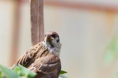 与一个损坏的翼的一只小麻雀坐地球 免版税库存照片