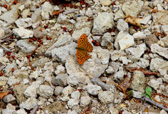 与一个损坏的翼的一只蝴蝶 免版税库存照片