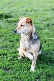 与一个断爪子的一条狗坐草,当他的眼睛闭上 动物需要help_ 免版税库存图片
