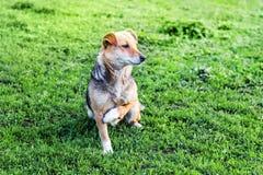 与一个断腿的一条狗坐绿草在夏天 动物需要help_ 图库摄影