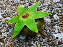 与一个星状绿色冠的奇怪的浮动水果树,在一个小泰国池塘的石渣银行的集合 免版税库存照片