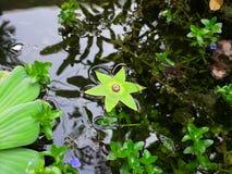 与一个星状绿色冠的奇怪的浮动水果树,漂浮在一个小泰国池塘 免版税库存图片