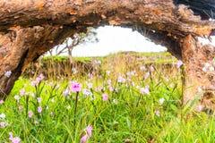 与一个木制框架的桃红色花(晨曲的Caulokaempferia)领域本质上 库存照片