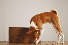 与一个木酒条板箱的Basenji狗 库存图片