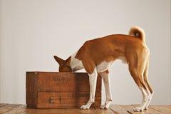 与一个木酒条板箱的Basenji狗 免版税库存照片