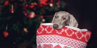 与一个枕头的党狗Weimaraner在他的牙 免版税库存照片