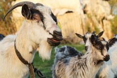与一个标记的山羊在他的耳朵吃草在有两只小山羊的一个草甸的 库存图片