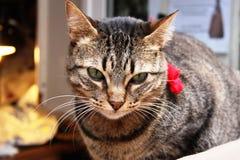 与一个桃红色蝶形领结的猫 免版税库存图片
