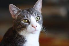 与一个桃红色鼻子的镶边灰色杂种猫 免版税库存照片