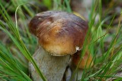 与一个棕色帽子的白色蘑菇在绿草丛林增长在森林里 图库摄影