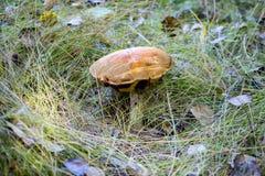 与一个棕色帽子的蘑菇 库存照片