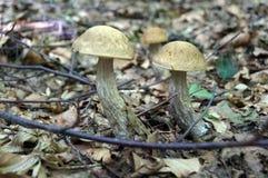 与一个棕色帽子的Leccinum scabrum 免版税库存照片