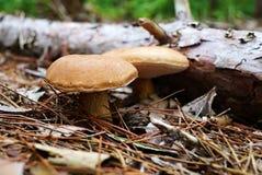 与一个棕色盖帽的两个蘑菇在下落的日志旁边增长 Fung 免版税图库摄影