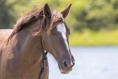 与一个母牛的颈铃的美丽的棕色母马在她的脖子 免版税库存图片
