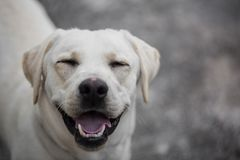 与一个滑稽的表示的滑稽的看的拉布拉多狗 库存照片