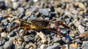 与一个爪的小螃蟹 免版税图库摄影