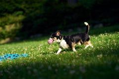 与一个球的奇瓦瓦狗在公园 库存照片