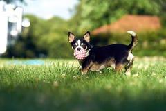 与一个球的奇瓦瓦狗在草 库存图片