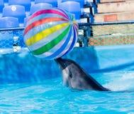 与一个球的海豚在水池 库存照片